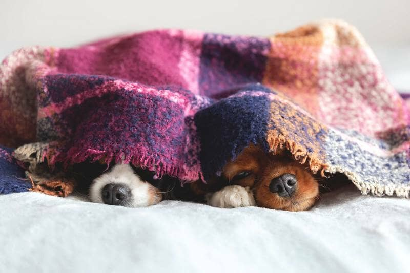 two dogs under a blanket
